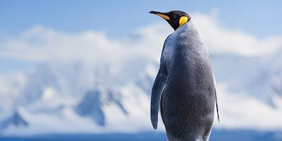 King Penguin in Antarctica