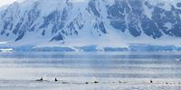 A pod of Killer Whales in Antarctica