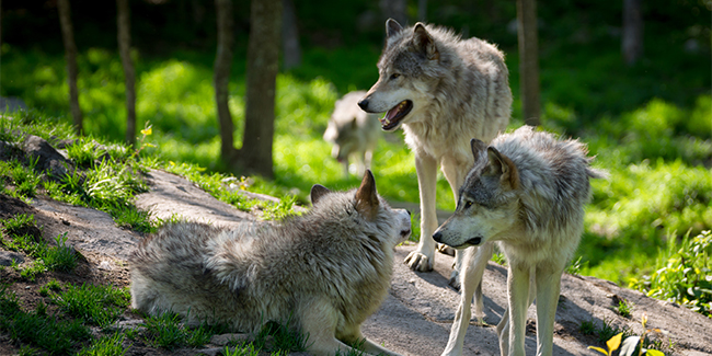 Predatory pack animals and the largest members of the dog family, wolves were hunted to near extinction in the lower 48 states.