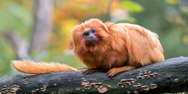 Named for their impressive manes, the Golden Lion Tamarin is native to Brazil's coastal Atlantic rainforest.