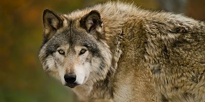 Gray Wolf in profile