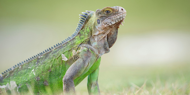 No ordinary lizard, the iconic Lesser Antillean Iguana grows up to 4 feet in size and exhibits a dinosaur-like appearance.