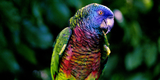 Vivid coloring makes this the most striking parrot of its kind. Native to St. Lucia, it's now endangered due to trapping and deforestation.