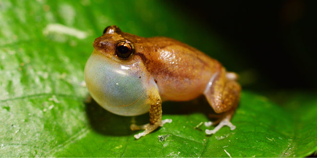 The Wrinkled Coqui's voice has up to 10 high-pitched whistles and lives high up in Puerto Rico's El Yunque National Forest.