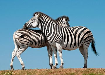 Zebras in Durban, South Africa