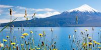 A snowcapped volcano towers over the water and yellow flowers